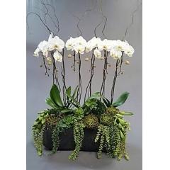 Orquideas Phalaenopsis ¨ Luna¨