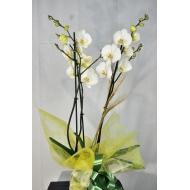 Orquidea phalenosis blanca.